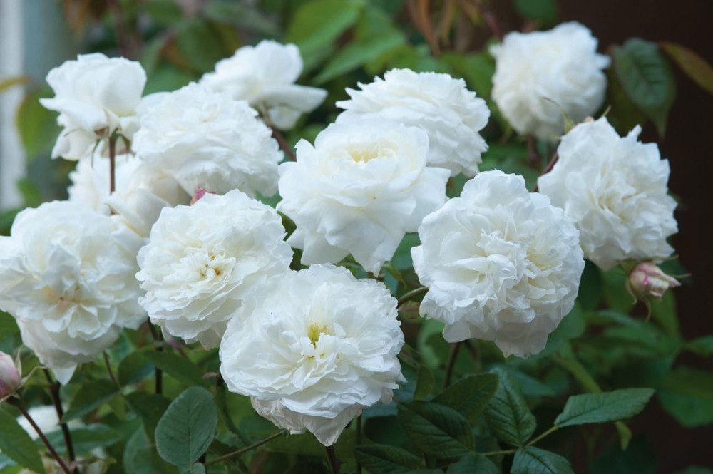 susan-williams-ellis-david-austin-roses