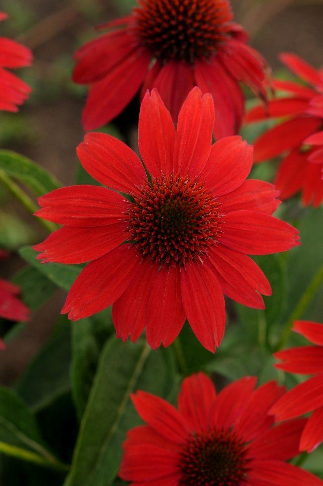 waltersgardens-hi22525-echinacea-sombrero-regsalsa-red-balsomsedpp23105-us7-982-110-cpbr4671-9940945