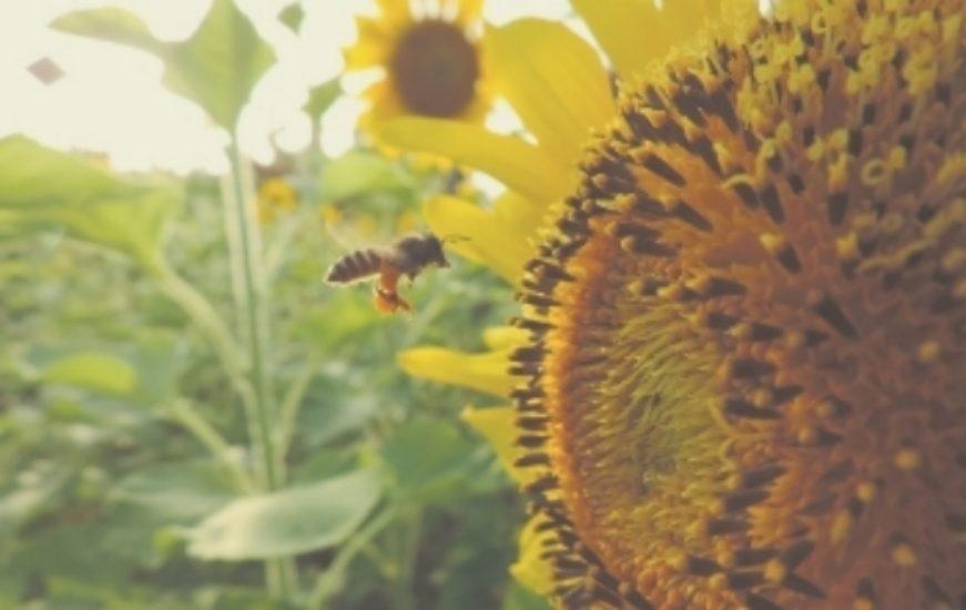 sunflower-983894_1280-7362146