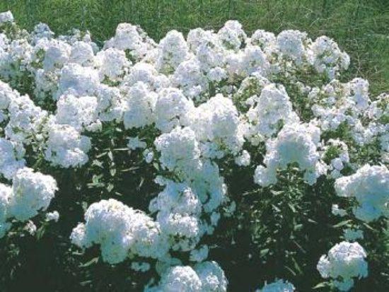 whitephlox-4625289