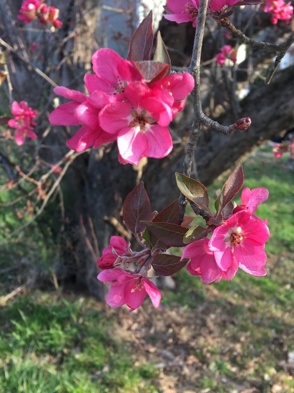 appleblossom-3163819
