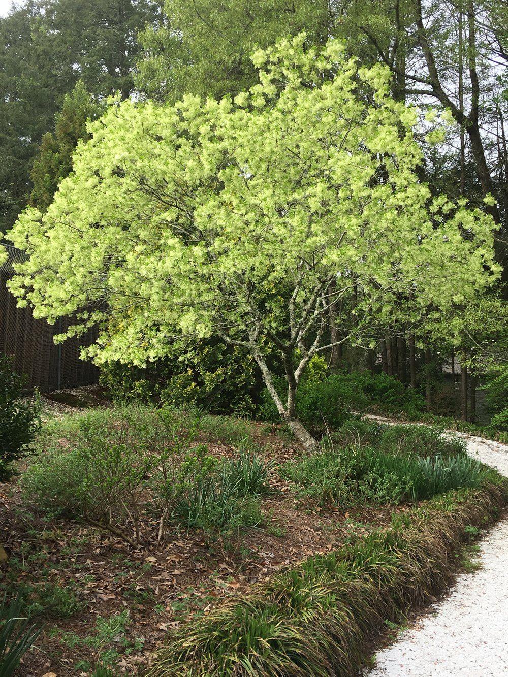 fringetree-2955010