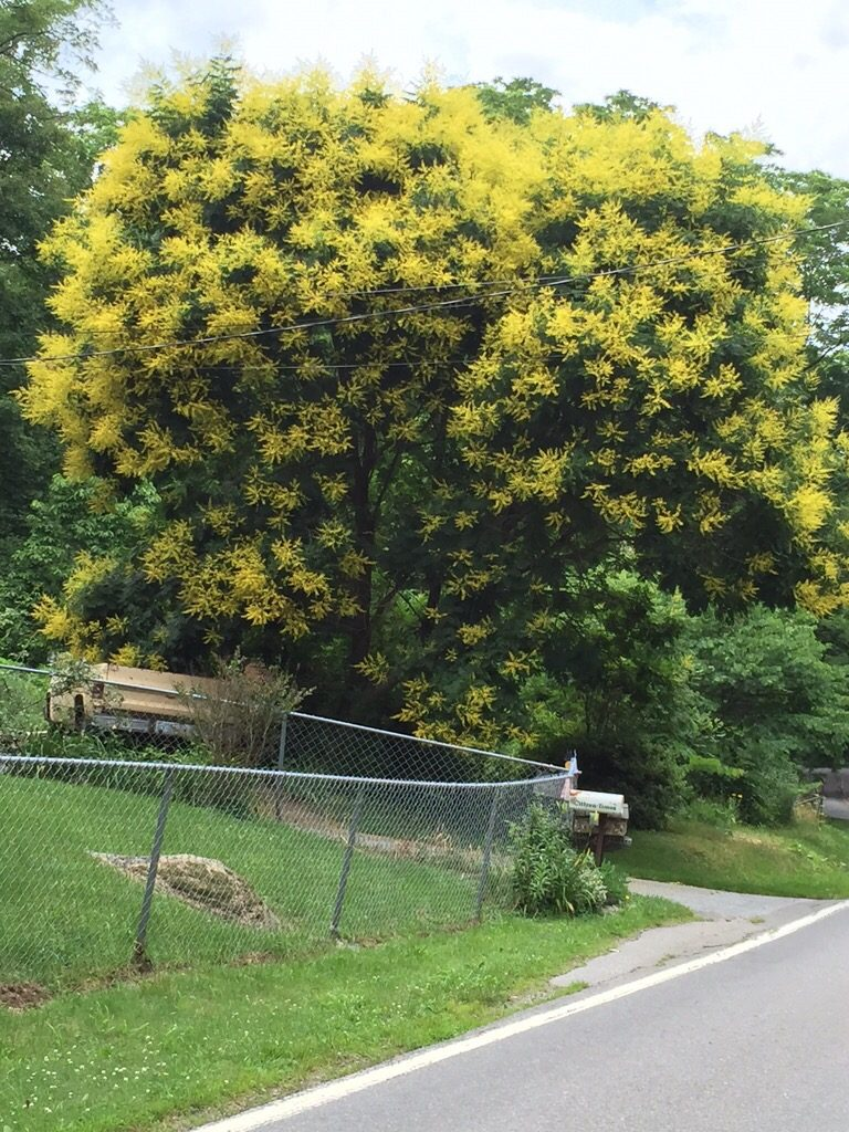 goldenraintree-7628973