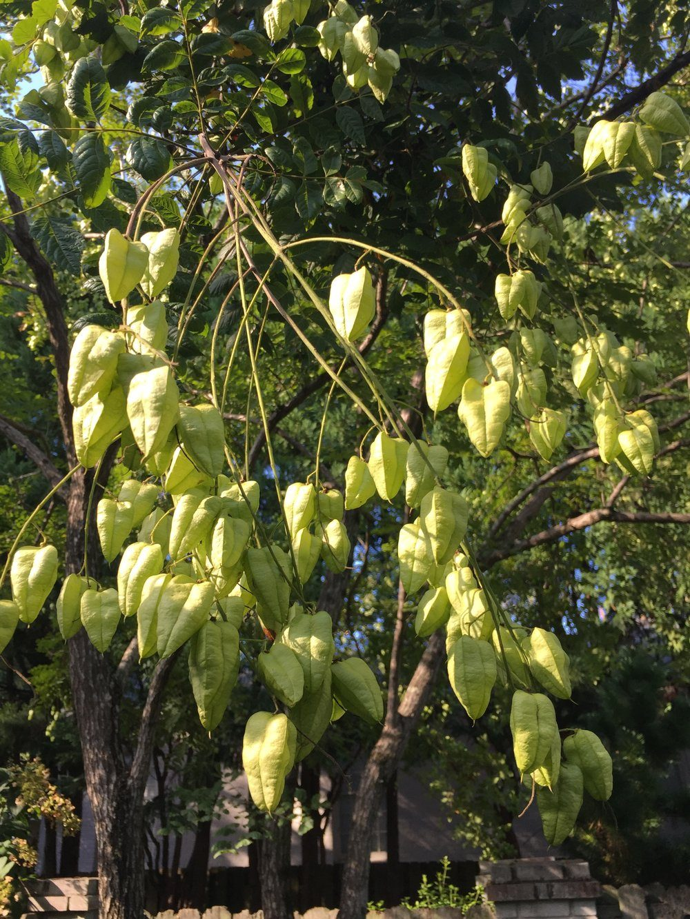 goldenraintreeseedpod-3215057