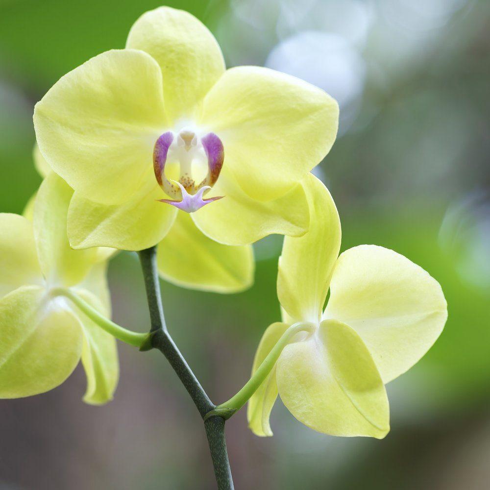 phalaenopsis-7429328