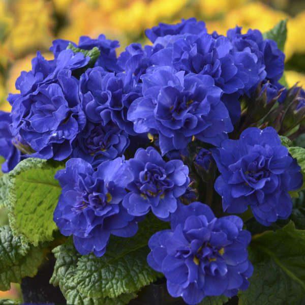 coblatblueprimrosebelarina-5744167