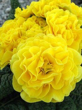 yellowrufflebelarina-1034446