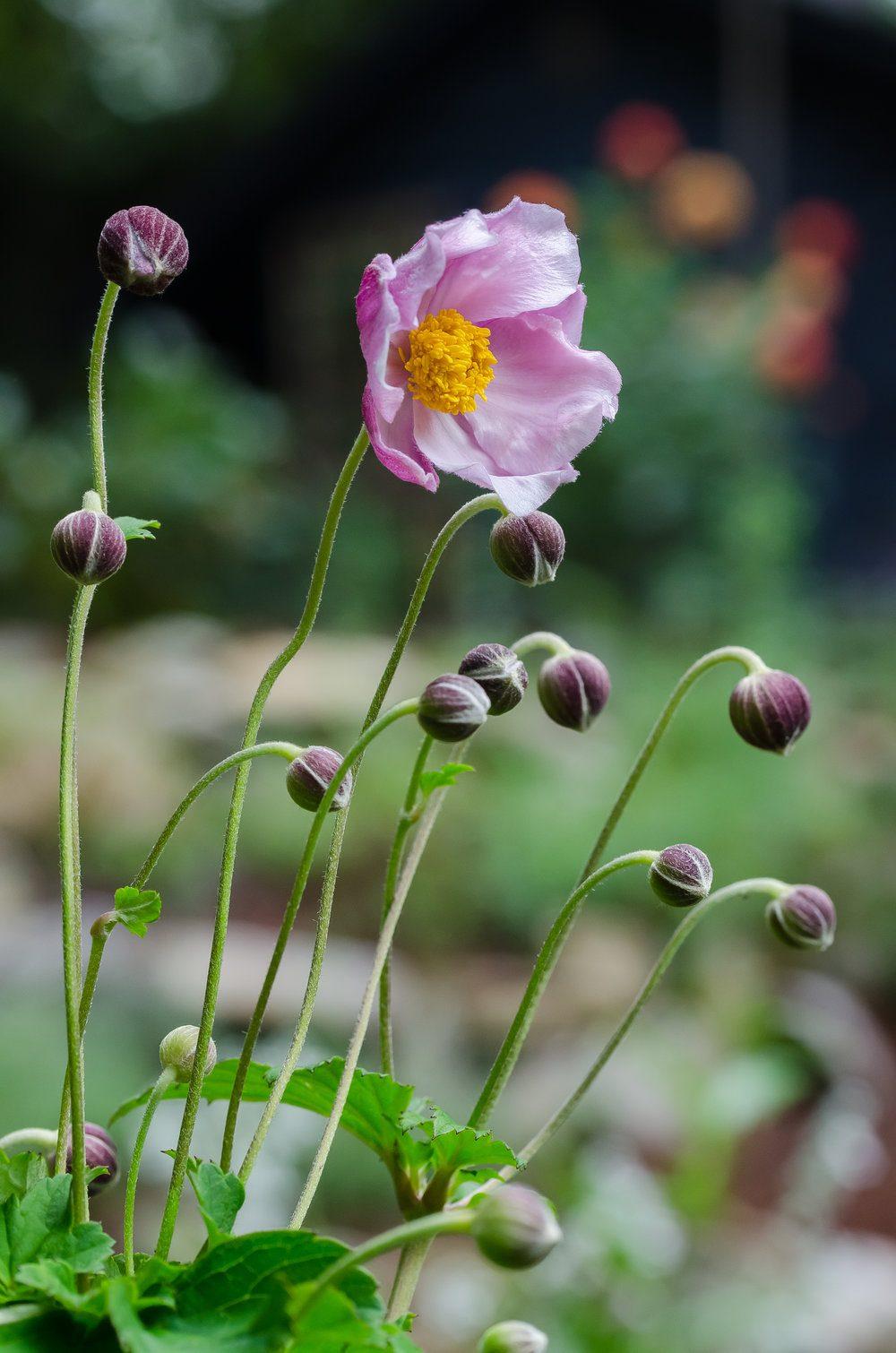 pink-japanese-anemone-september-charm-2
