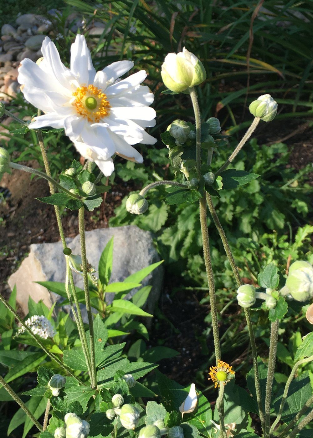 anemonewhite2-6129733