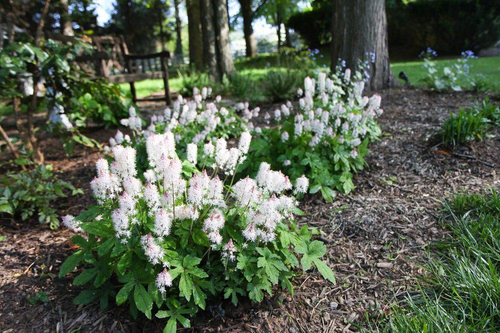 foamflowers-in-bloom