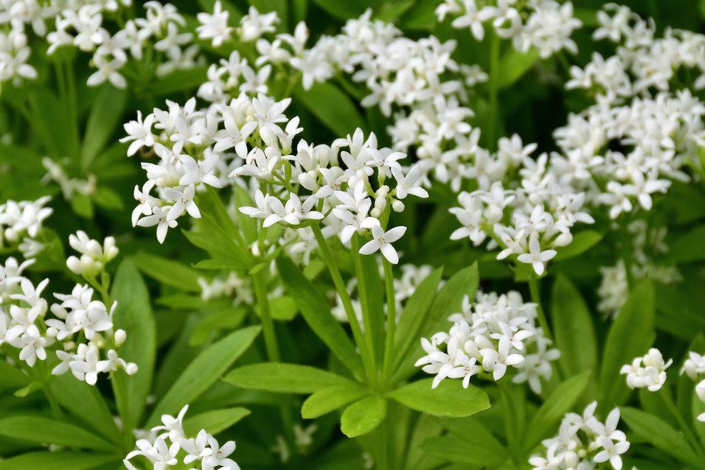 woodruff-galium-odoratum