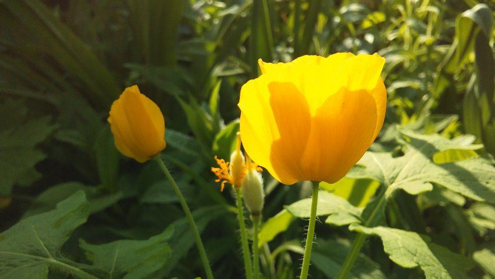 stylophorum-diphyllum-celandine-poppy-wood-poppy-poppywort-plant-blossoming-in-shakespeare-garden-in-spring-in-central-park-in-manhattan-new-york-ny
