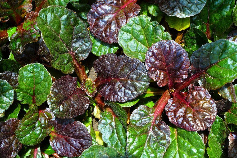 evergreen-soil-protective-garden-plant-ajuga-reptans-ablack-scallopa