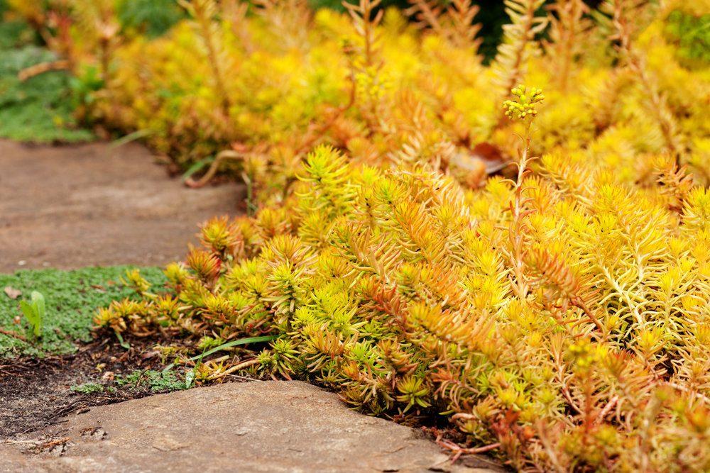 creeping-garden-plant-sedum-reflexum-angelina-beautiful-slow-growing-perennial-succulent-groundcover-with-fleshy-golden-leaves-reflexed-stonecrop-stone-orpine-prick-madam