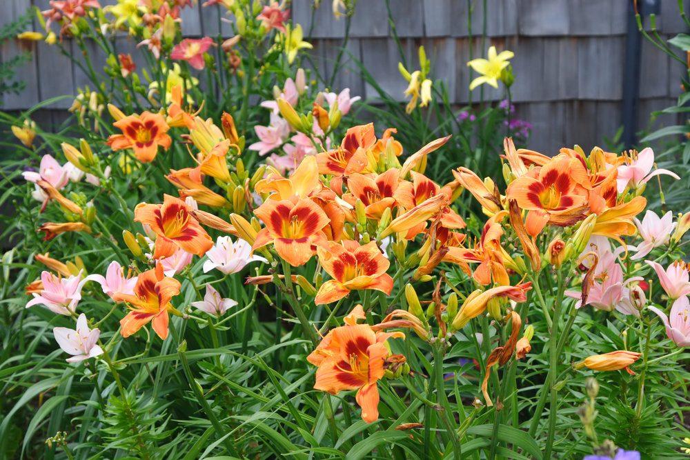 daylily-garden