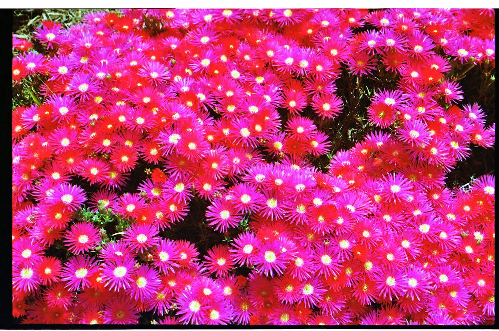 bed-of-neon-pink-daisy-like-flowers