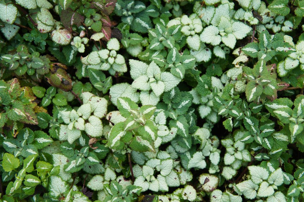 lamium-maculatum-or-spotted-deadnettle-green-and-white-plant-background