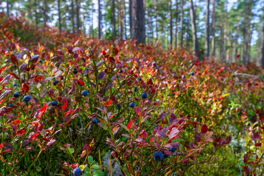 ripe-blueberries-in-the-woodland-at-autumn