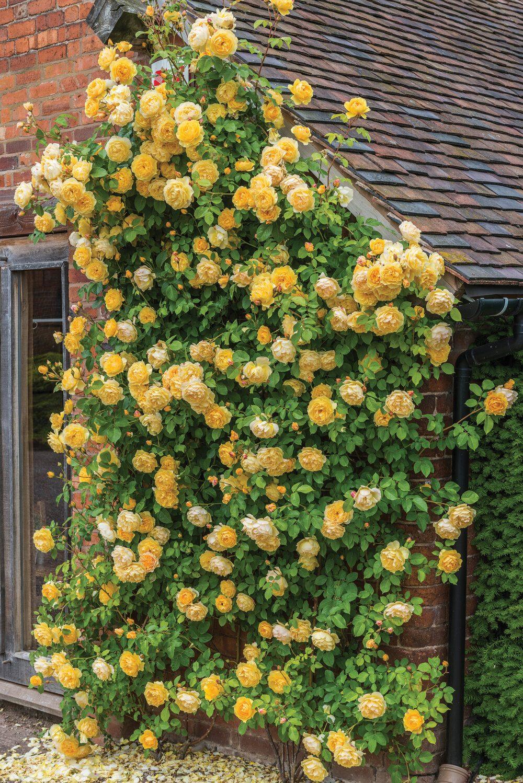david-austin-english-rose-graham-thomas