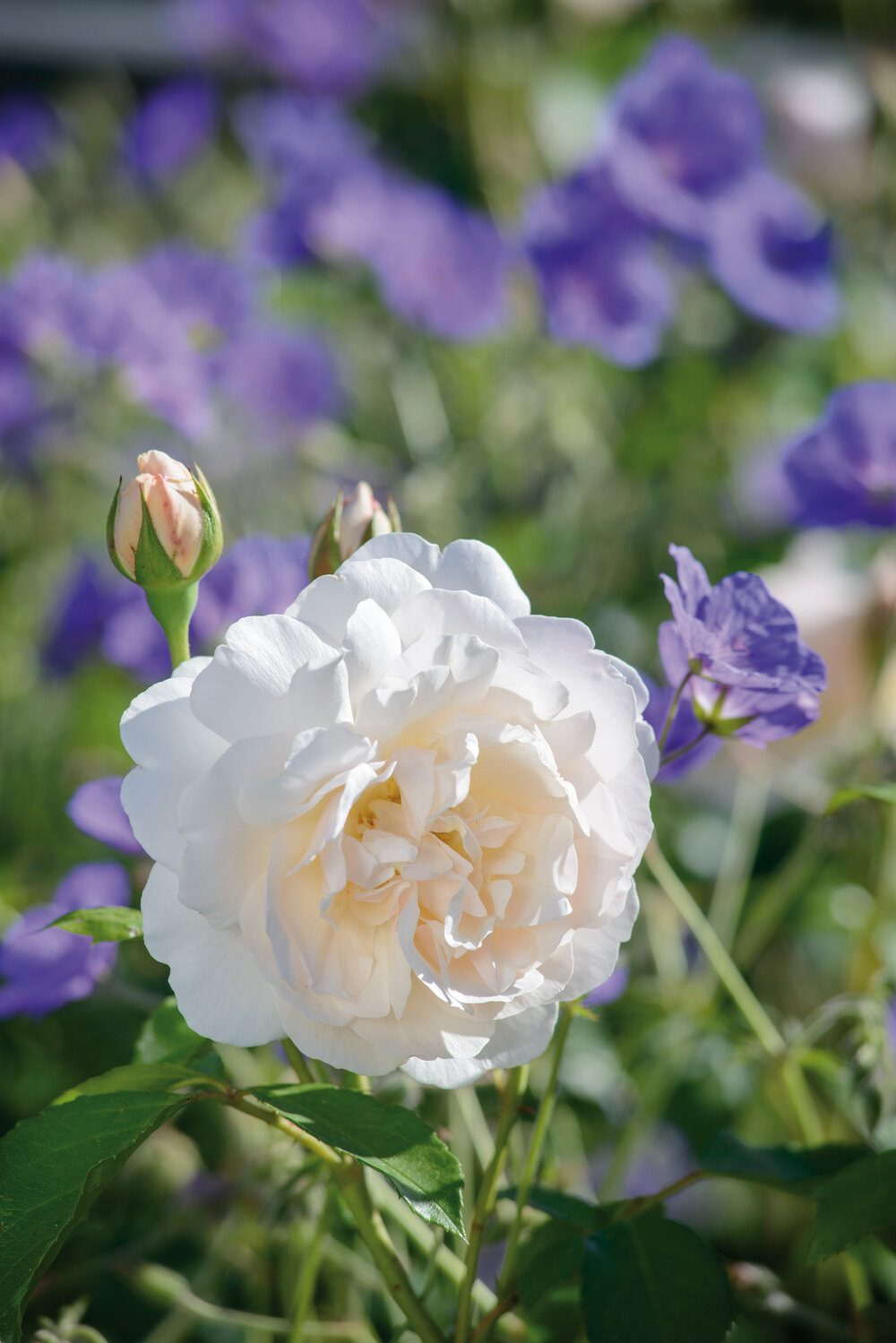 lichfield-angel-david-austin-english-rose