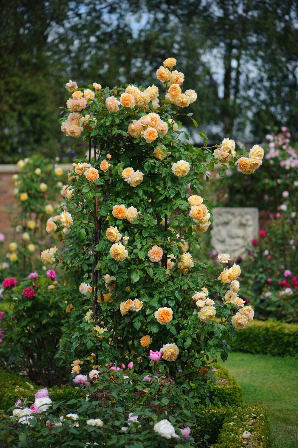 crown-princess-margareta-climbing-david-austin-english-rose