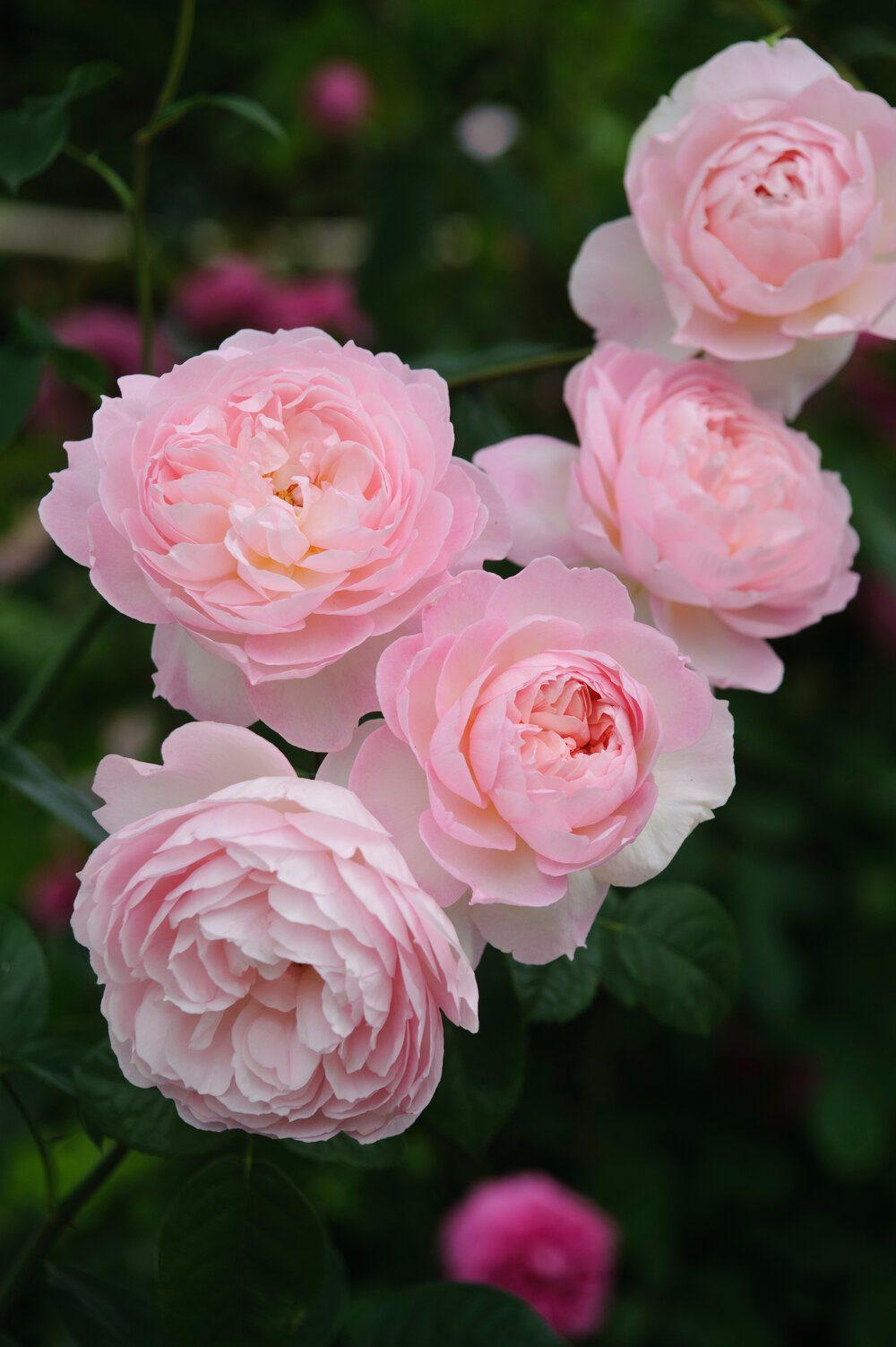 gentle-hermione-david-austin-english-rose