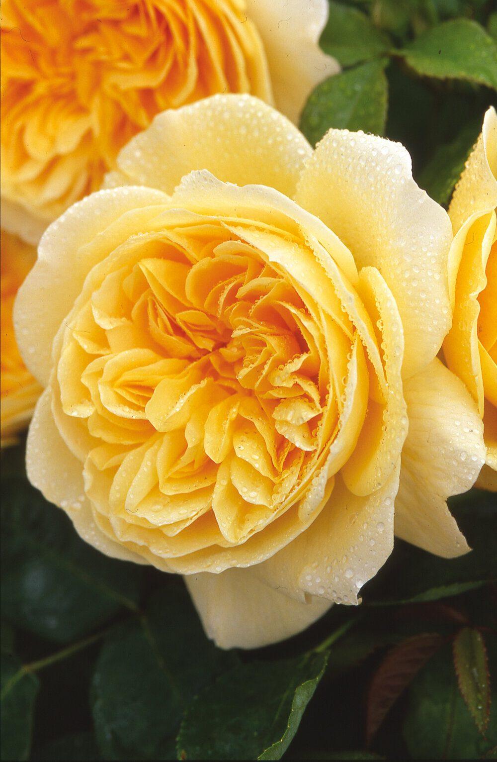 teasing-georgia-david-austin-english-rose