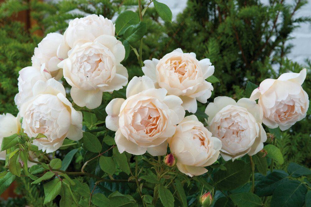 wollerton-old-hall-david-austin-english-roses