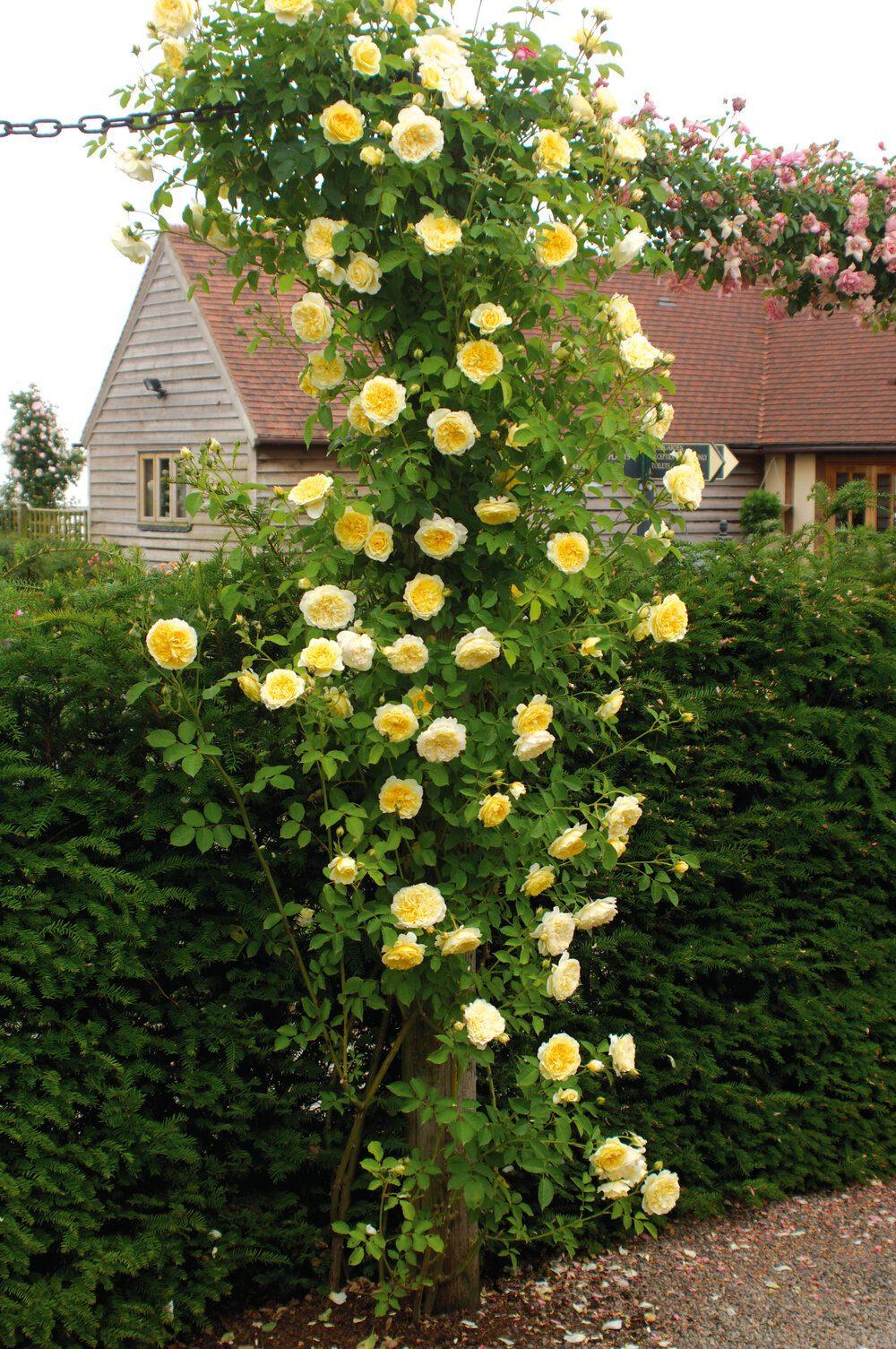 the-pilgrim-climbing-david-austin-english-rose