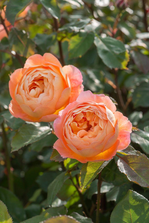 lady-emma-hamilton-david-austin-english-rose