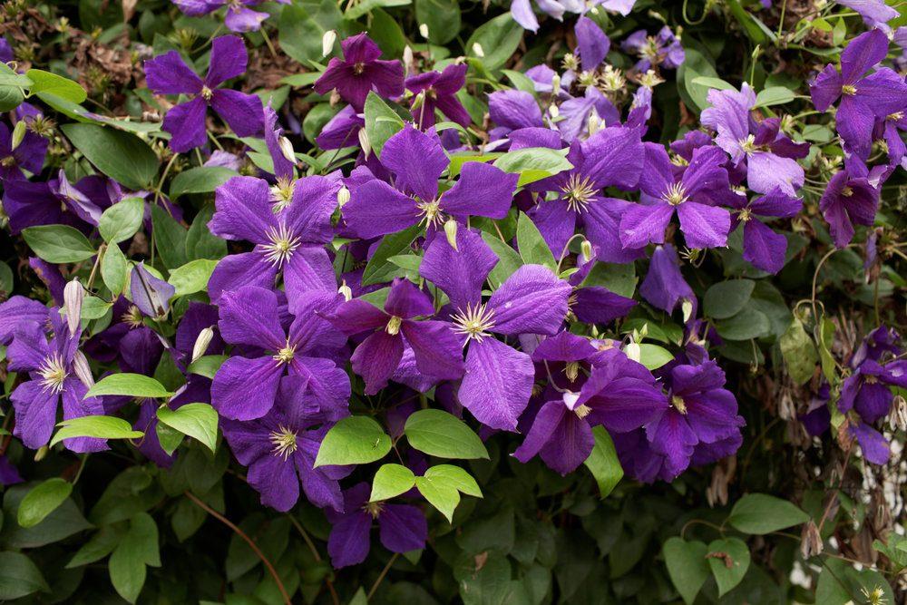purple-clematis
