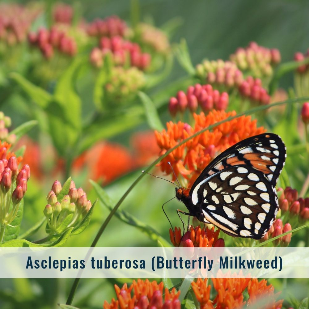 asclepias-3335115