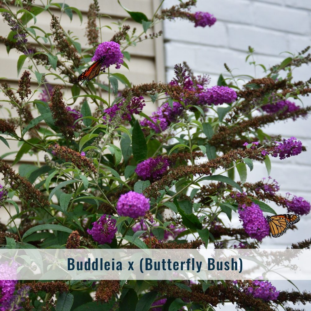 buddleia-1754374