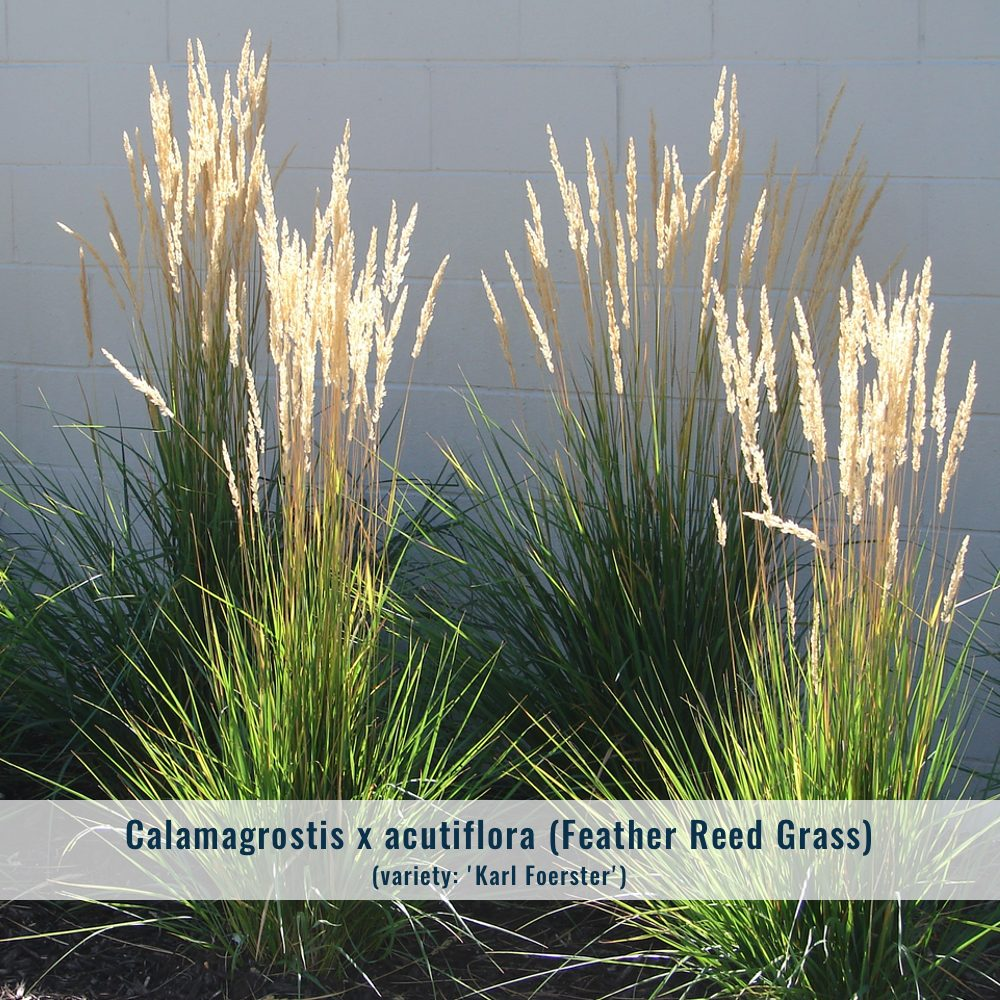 calamagrostis-6353099