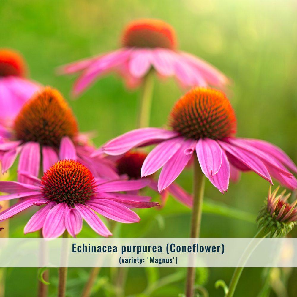 echinacea-2371489