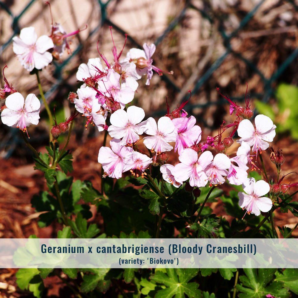 geranium-5523814