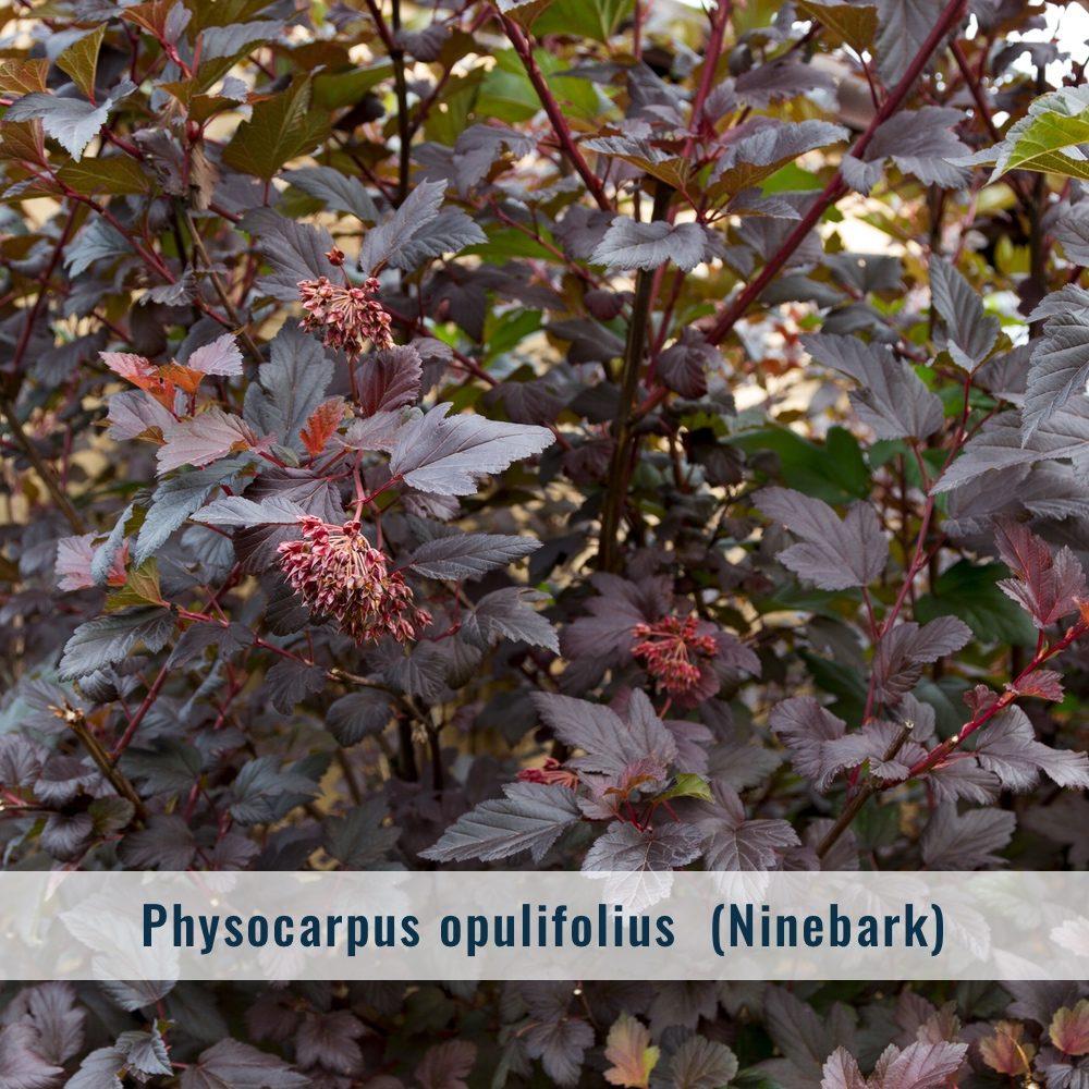physocarpus-5955853