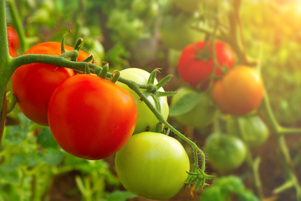 closeup-on-ripe-and-green-tomatoes-growing-on-vine-in-greenhouse-toned