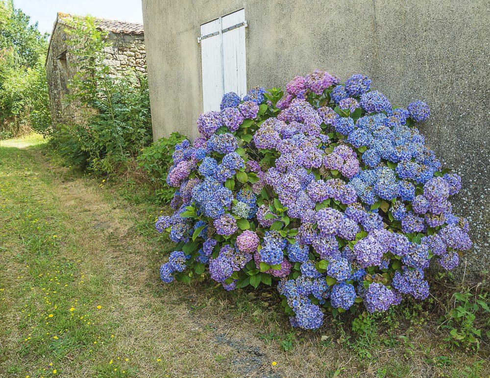 beautiful-bush-of-blue-hydrangea