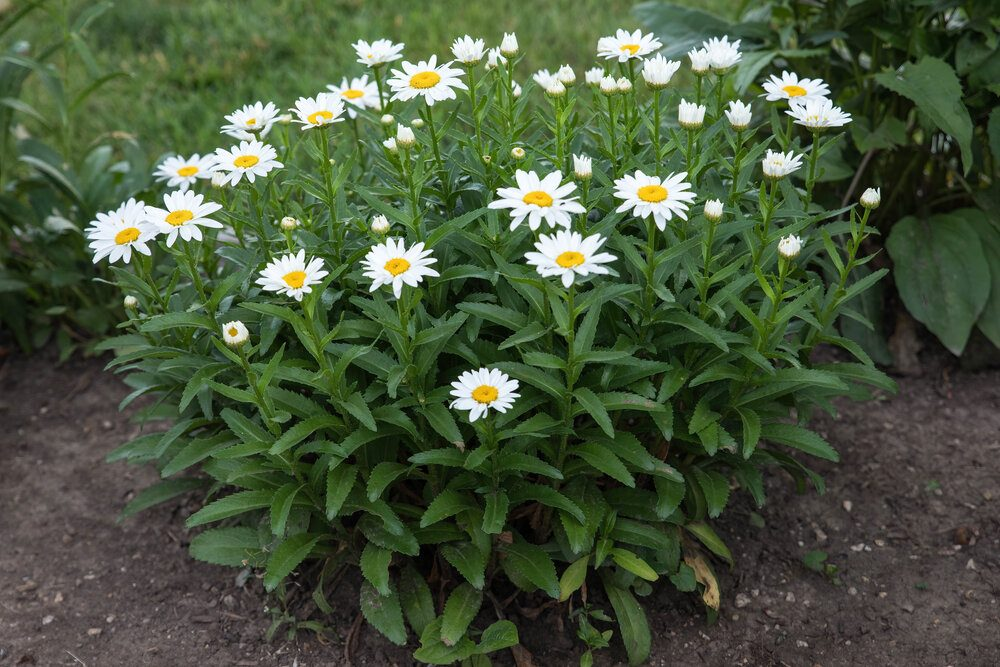 a-wide-angle-view-of-a-medium-sized-cluster-of-white-daisy-blossoms