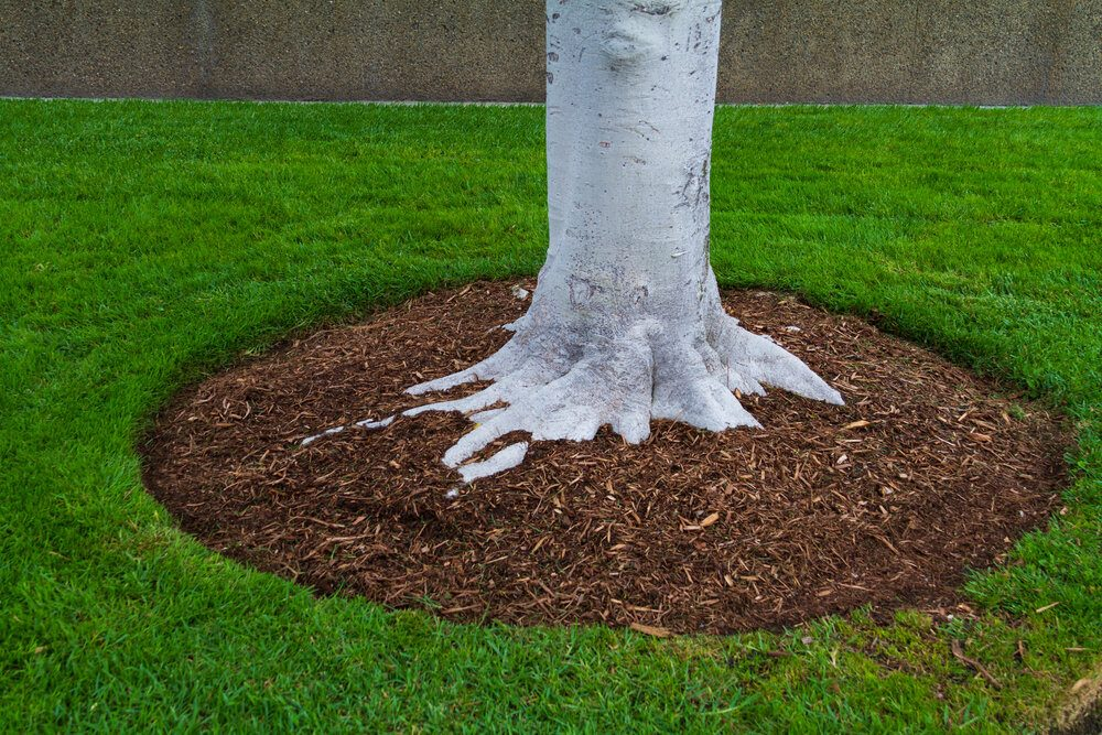 tree-trunk-base-with-mulch-and-green-grass