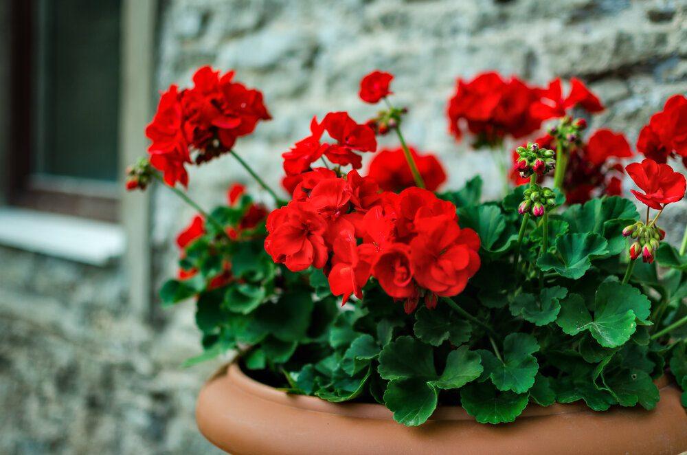 red-garden-geranium-flowers-in-pot-2