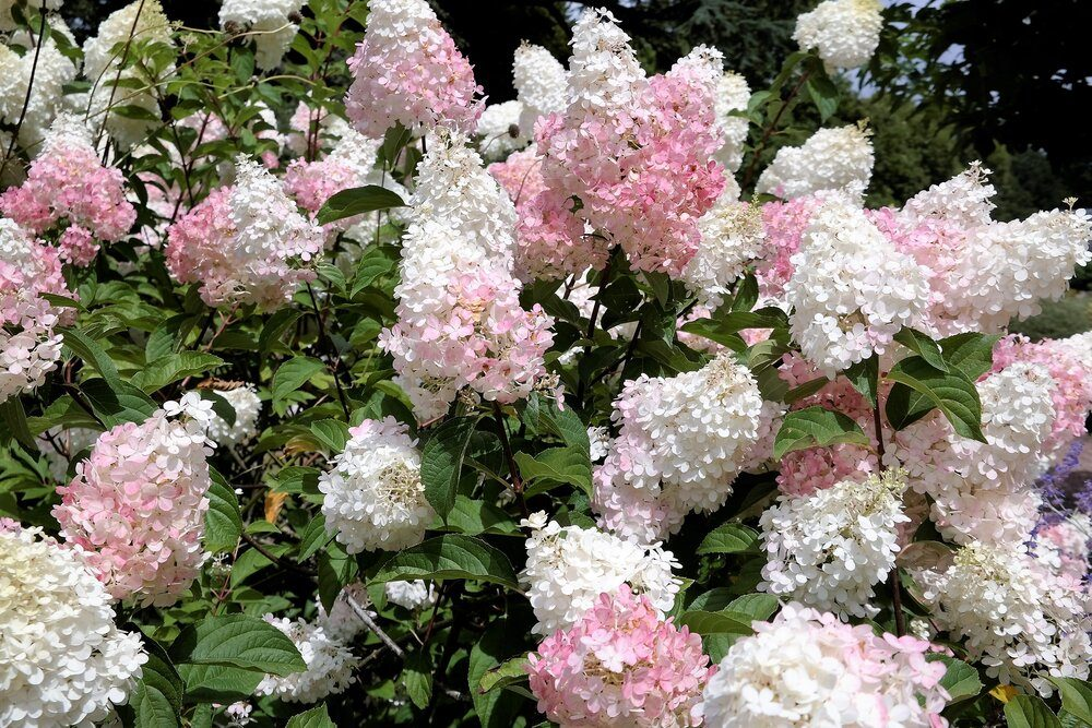 hydrangea-limelight-paniculata-bush-in-summer-garden