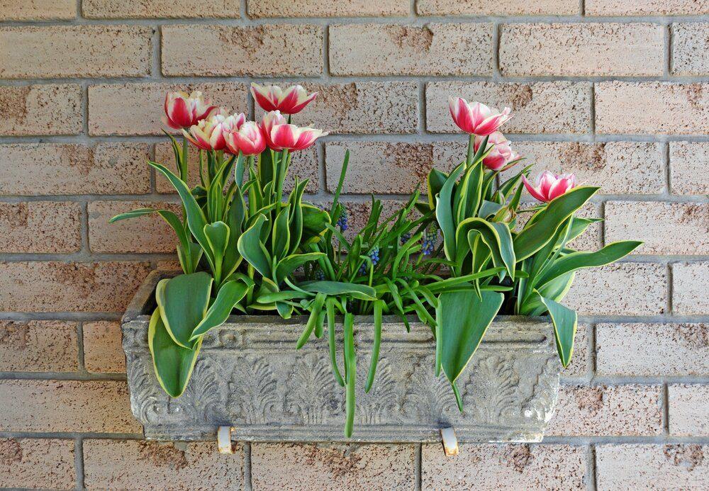 tulips-in-a-window-box